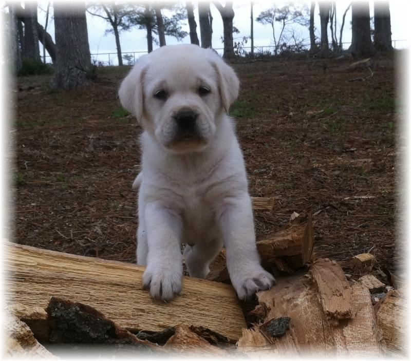6S Ranch - Lab Puppies AKC White ENGLISH Lab Puppies Please