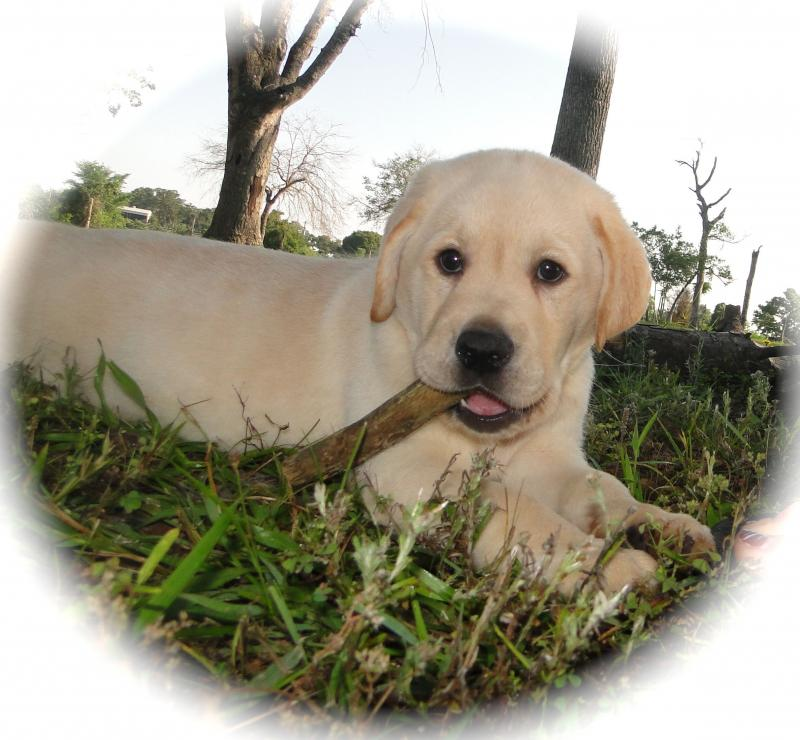 Male yellow Lab